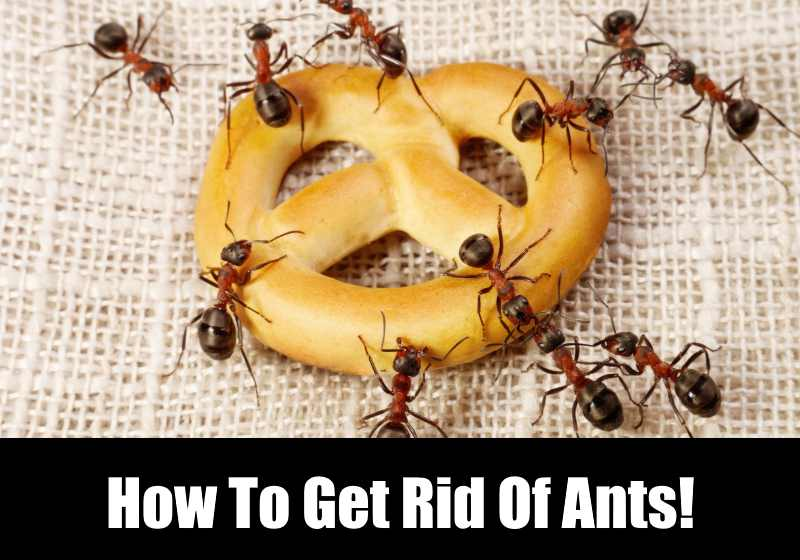 How To Get Rid Of Ants In The Kitchen | KitchenSanity