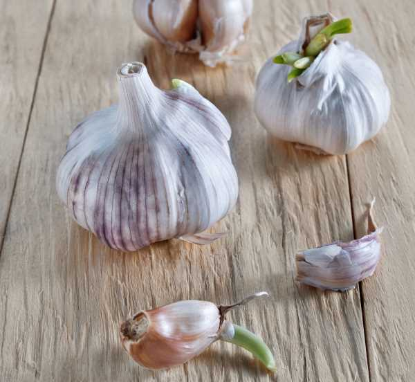 old sprouted garlic