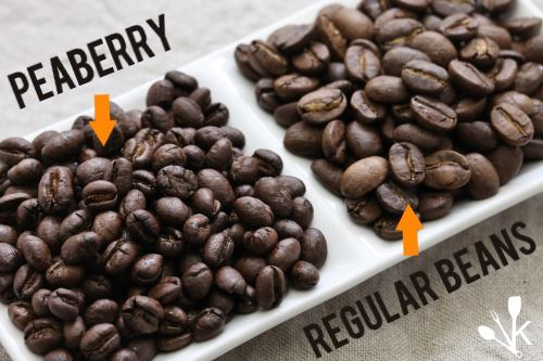 Peaberry vs regular coffee bean