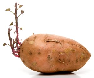 sprouted sweet potato
